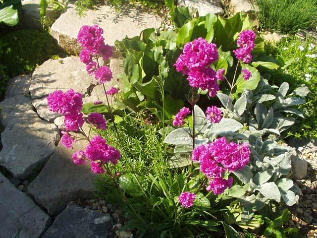 Листья линейно-ланцетные.  Цветки Малиновые, белые, голубые, собраны в метельчатое соцветие.  Цветут.