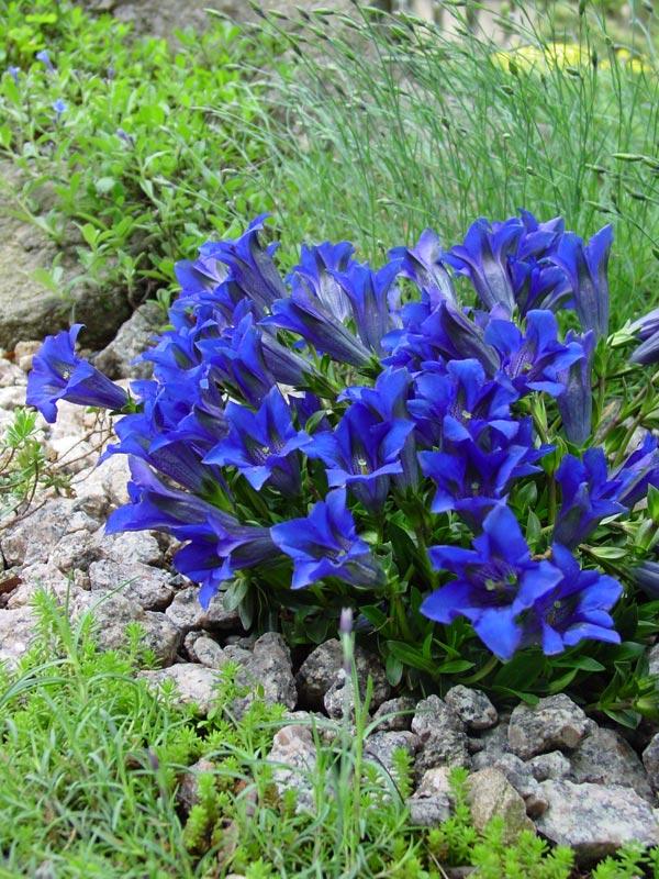 Выращивают и содержат эустому весной и летом при t 20-25 C - при ярком рассеянном свете без прямых лучей солнца.