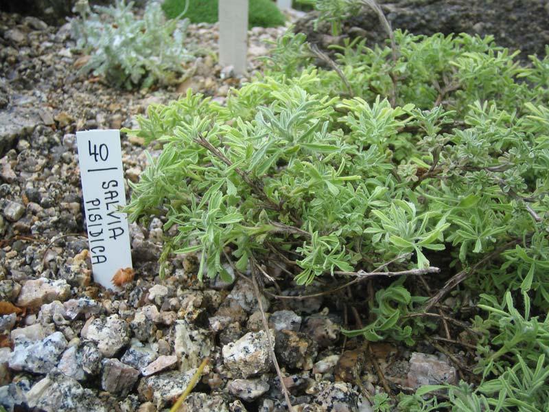 Цветы для сада сальвия или шалфей