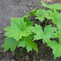 Hydrophyllum canadense l