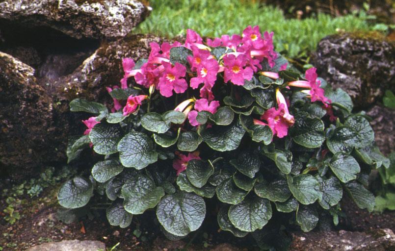 цветок инкарвиллея
