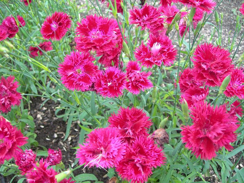 Гвоздика- название происходит от греческих слов Di- Зевс и anthos- цветок, что можно перевести как цветок Зевса...