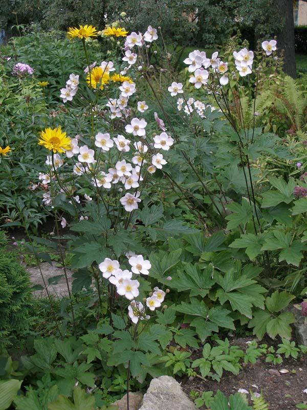 Ветреница гибридная - Anemona hybrida.  Это, как правило, гибридные...
