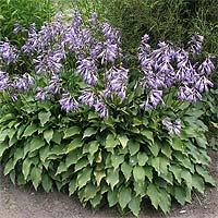 Многолетние цветы для клумбы фото