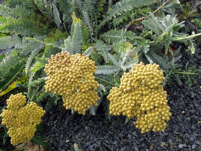 Каталог многолетних цветов для дачи: фото с названиями и описанием растений 60