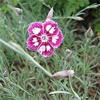 http://flower.onego.ru/other/phlox/en_2853.jpg