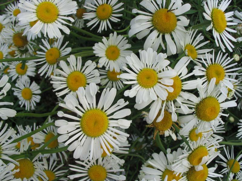 http://flower.onego.ru/other/phlox/ena_7594.jpg