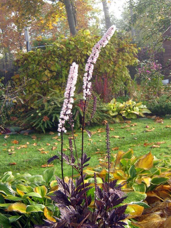 Цимицифуга выращивание из семян 60