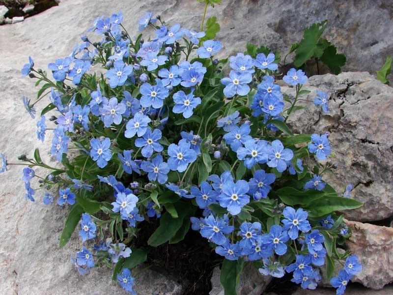 растение для альпийской горки фото