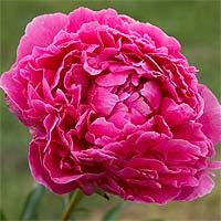 среднепоздний. высота 90 см, диаметр 16 см. Цветок розовидный красно-розовый, с кремовыми петалодиями внутри короны.