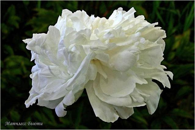 Махровый розовидный.  Белый с широкой жёлтой короной.  Диаметр цветка - 18 см. Высота куста - 80 см. Запах слабый.