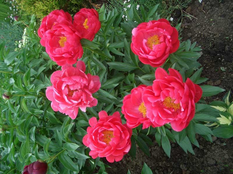 Пионы являются главным украшением садовых участков, благодаря красивым крупным цветам, которые имеют удивительную...