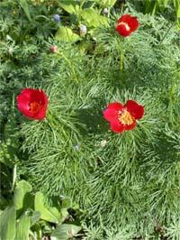 Примечание: занесен в красную книгу.  Каталог растений.  Навигация.