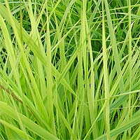 Кукурузный ген для биотоплива из проса