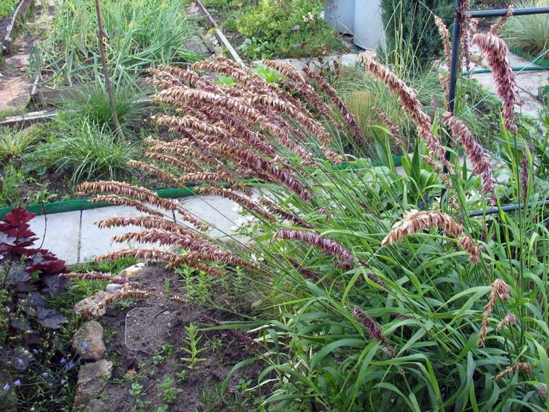 Перловник высокий melica altissima l