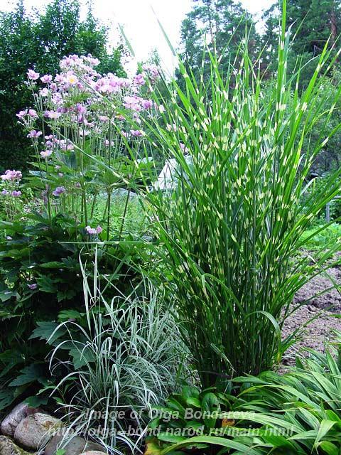 Anemone japonica & M. sinensis 'Sebrinus'